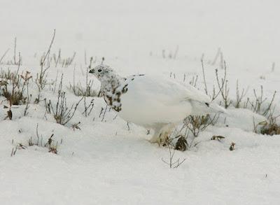 Willow Ptarmigan, winter in Newfoundland