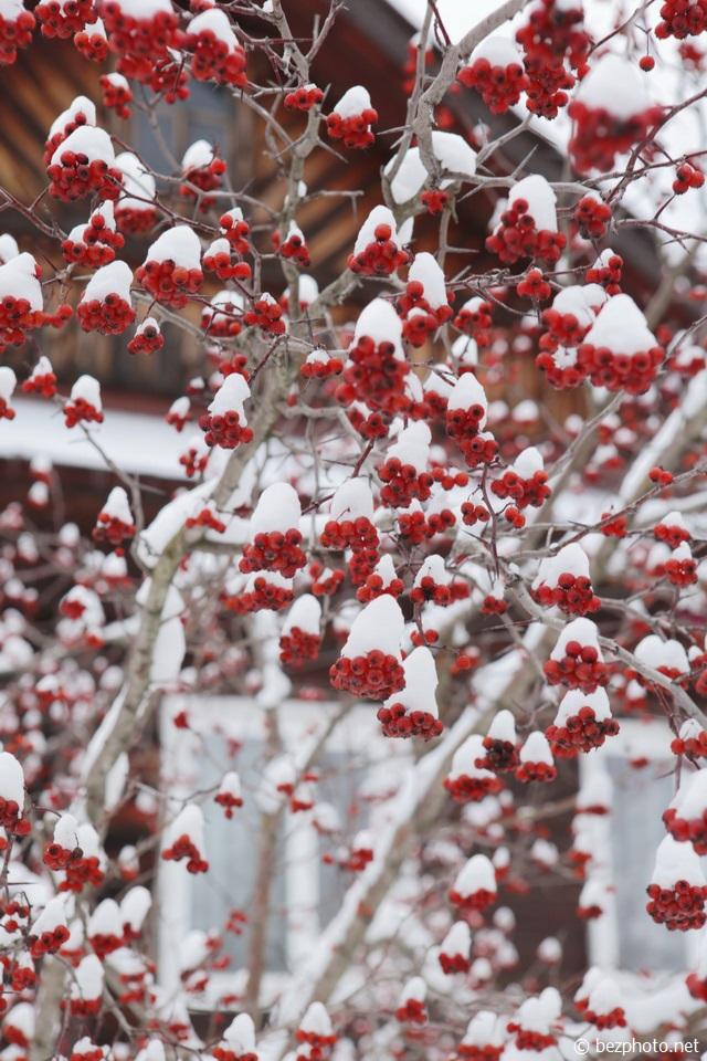 рябина зимой фото