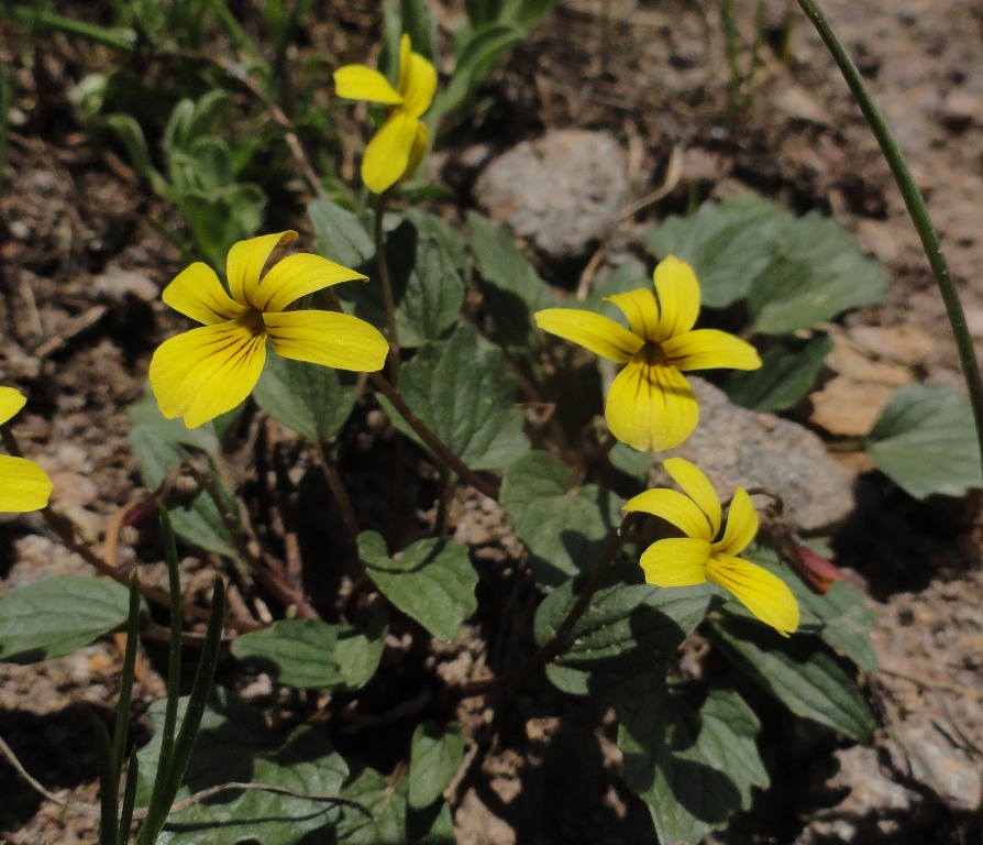Prairiebreak: Colorado Alpines
