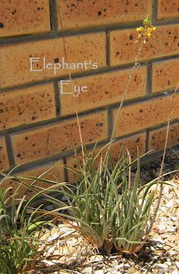 Bulbine growing happily in gravel