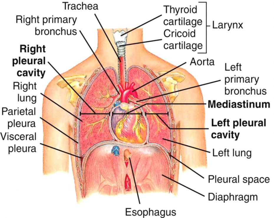 Thorax Anatomy Wallpapers Gallery