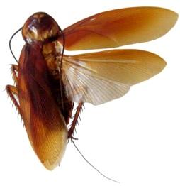 Imagen de una cucaracha con las alas abiertas