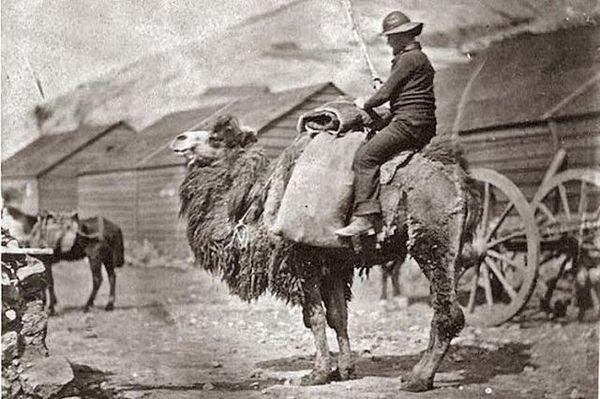 Английский моряк верхом на верблюде. Балаклава, 1855 г.