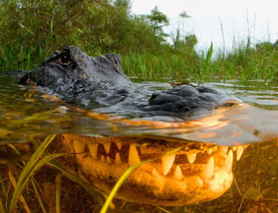 Alligator blood graphic