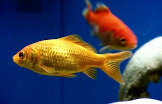 jenis ikan mas komet tercantik marigold