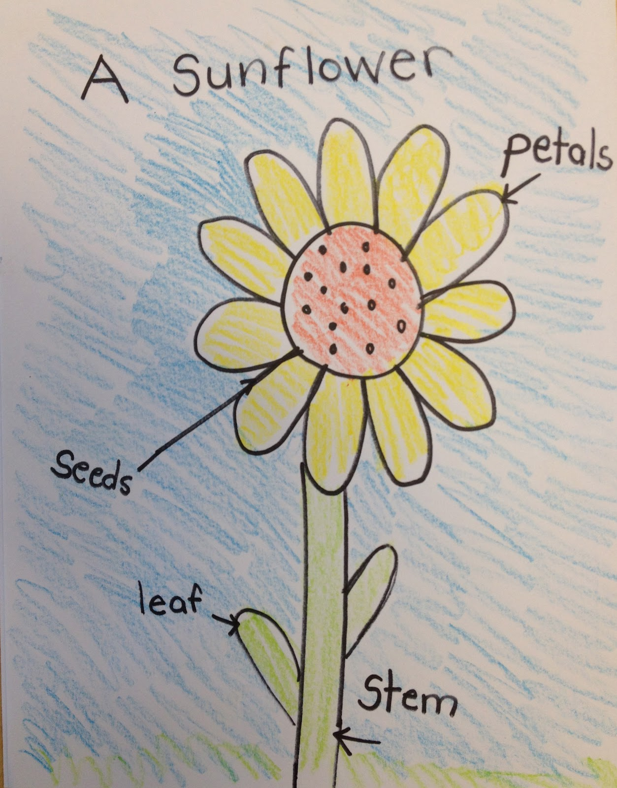 Parts Of A Sunflower Diagram 96 Jeep Cherokee Ignition Wiring My First Grade Backpack Planting Sunflowers