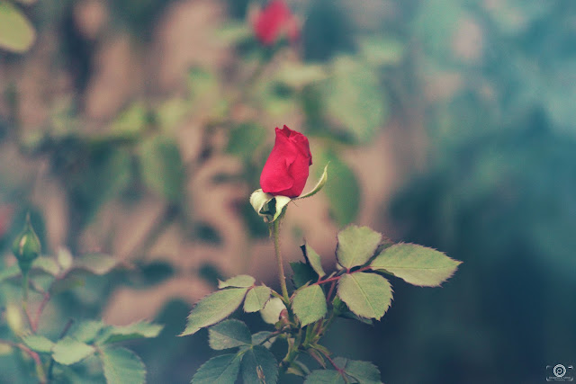 Rose flower picture, rose quote, flower, shashank mittal photography, shashank mittal, photography, shashank, mittal, photography