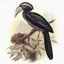 Toco negro Tockus Horizocerus hartlaubi