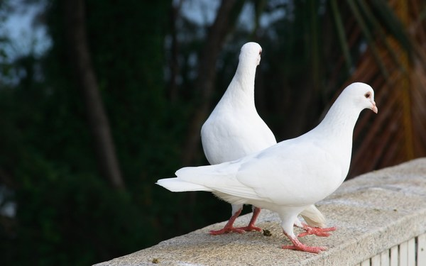 White pigeons Cute Love Romantic Images
