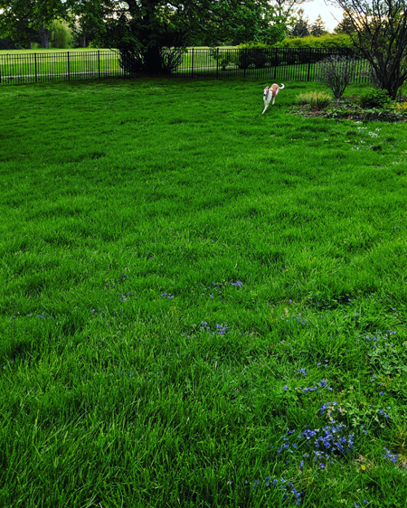 image of Dudley the Greyhound running toward me in the backyard