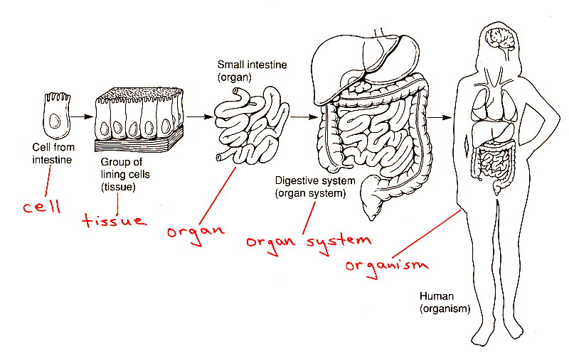 Organization of Living Things: Cell, Tissue, Organ, Organ