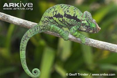 endangered Chameleon