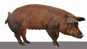 contoh tipe dan bangsa babi