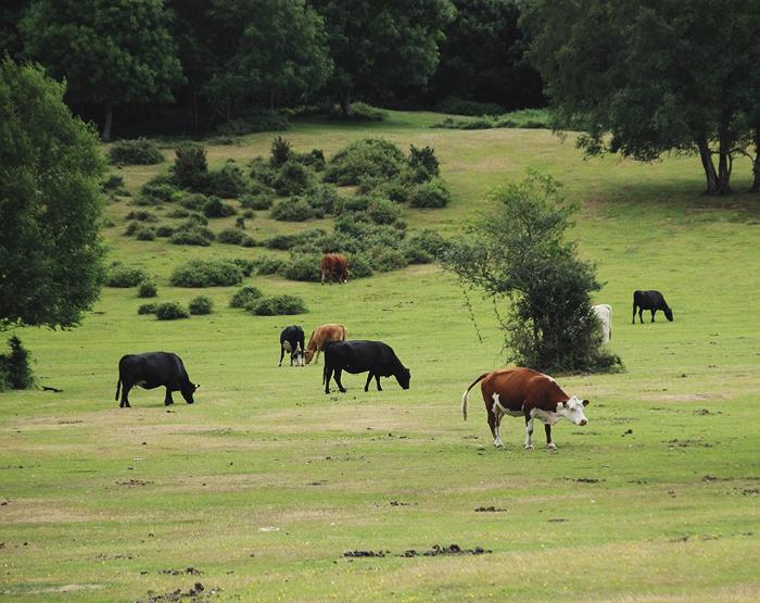 Nationalpark New Forest Lyndhurst Südengland Kühe