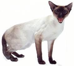 Сиамский кот фото