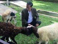 Negeri Banyak Masalah, Pak Jokowi Malah Asyik 'Nge-Vlog' Sama Kambingnya