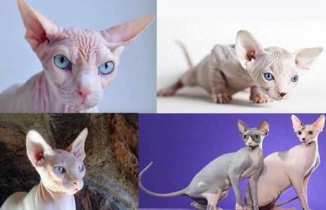 Sfenks Kedisi Hakkında Bilgi (Tüysüz Kedi)