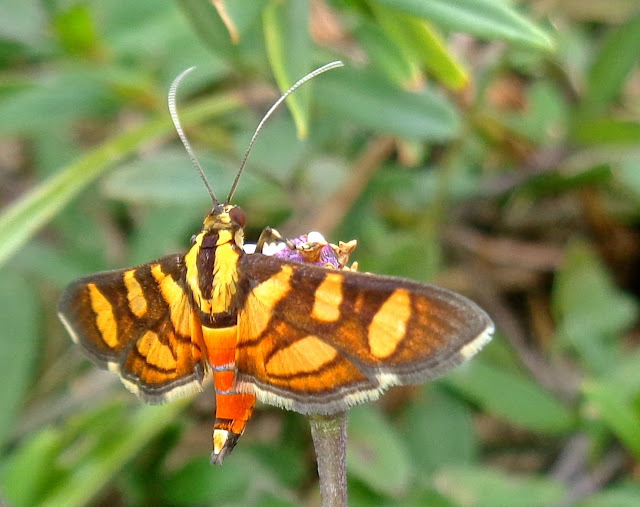 Syngamia Florella (a.k.a. orange-spotted flower moth or red-waisted florella moth)