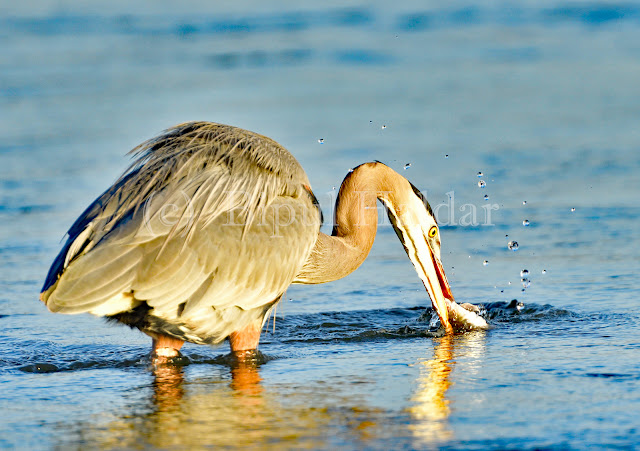 Great Blue Heron Fishing - First