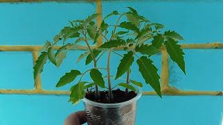 Рассаде помидоров для срезки и укоренения верхушек один месяц, 2 апреля