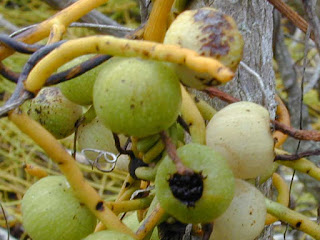 dodder laurel fruit images