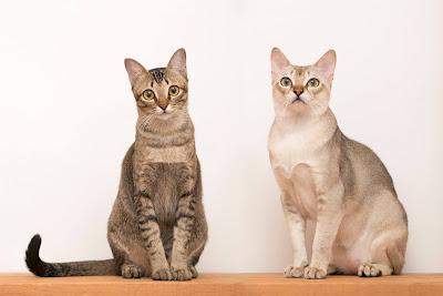 kucing yang berbeda gen