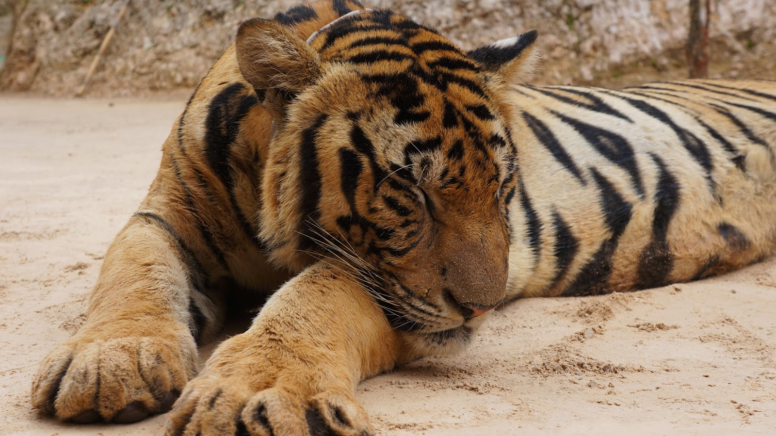 Just a tiger taking a nap in Tiger Temple, Kanchanaburi