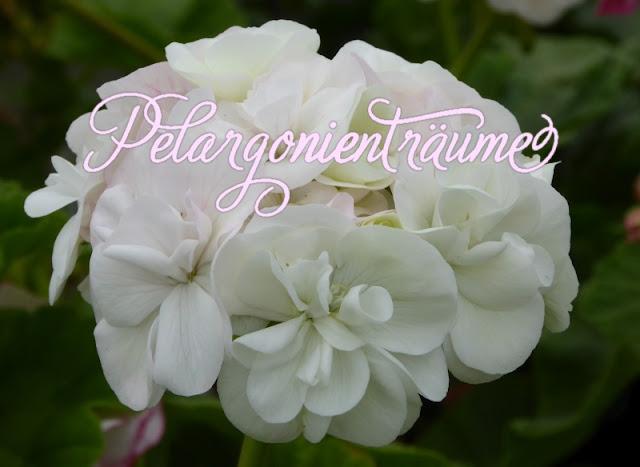 weiße-Röschenpelargonie-gefüllte-Blüten-Pelargonienträume