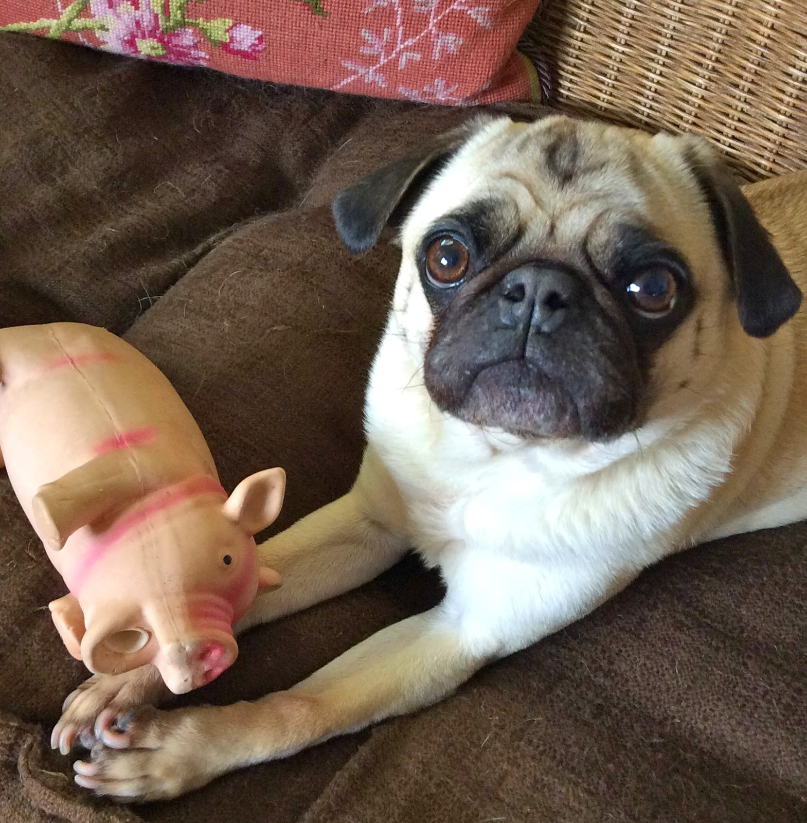 Liam the pug with his pig toy