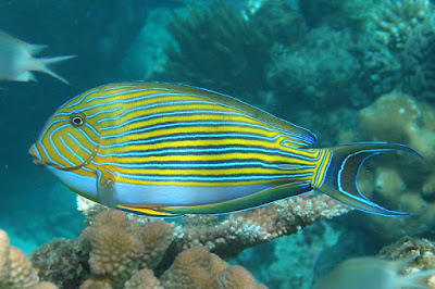 surgeon fish great barrier reef
