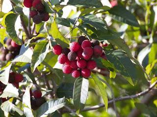 korlan fruit