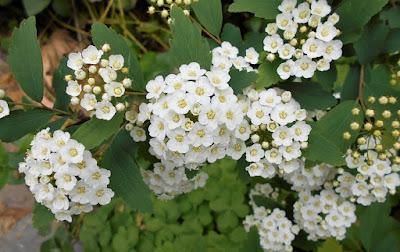 長風公園に咲いた白い小さな花
