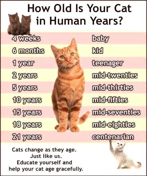 A Por Misconception Is That Cats Age Seven Years In Human For Each Calendar Year Fact Feline Aging Much More Rapid During The First Two