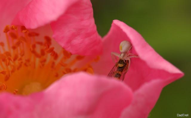 Une araignée crabe dévore un syrphe