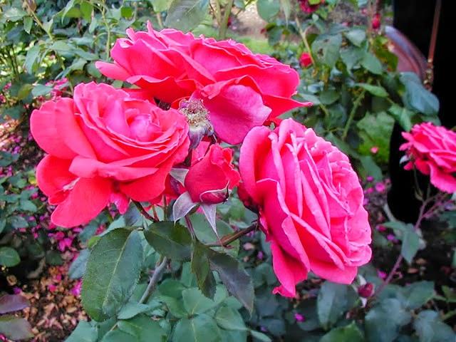 menanam-bunga-mawar