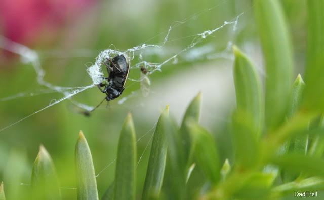Coléoptère dans une toile d'araignée