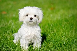 A Maltese small dog breed puppy in garden