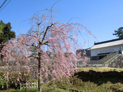 小田原城の桜