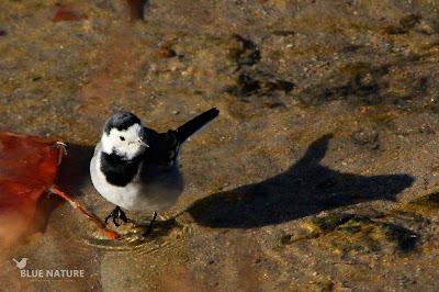 Las pequeñas lavanderas blancas (Motacilla alba) también se acercaron. Esta especie es residente, pero en invierno sus poblaciones aumentan ya que llegan muchas aves del norte. EN el Madrid Río se forma al atardecer bandos grandes que se juntan para pasar la noche, es lo que se conoce como dormidero.