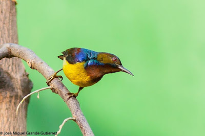 Anthreptes malacensis - Plain-throated Sunbird