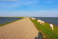 Freilaufende Schafe auf dem Rantumer Damm Sylt