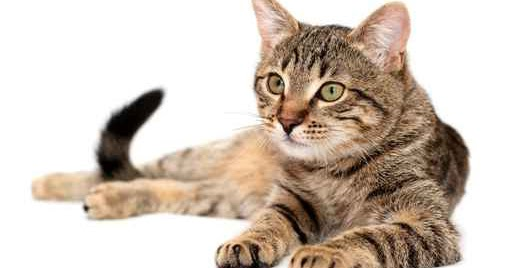 Ciri Ciri Kucing Yang Menderita Alergi Makanan Dunia Android
