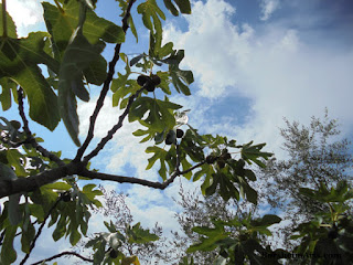 Fig trees with ready fruit in Tuscany Valleriana
