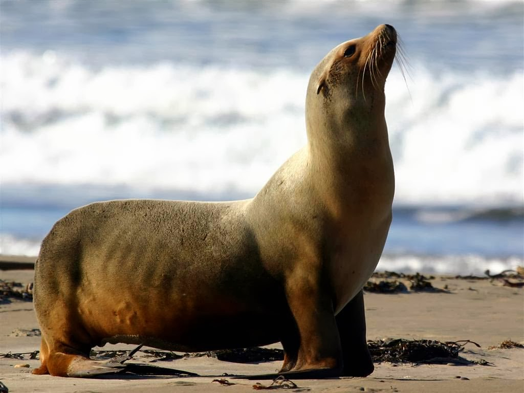 California Sea Lion Images