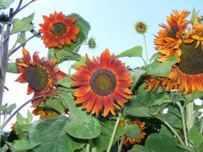 Flowering specimens of sunflower 'Velvet Queen' growing outside