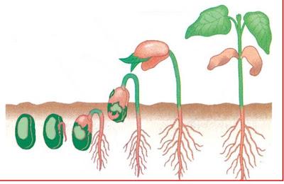 pupuk hayati m-bio cocok dipakai sebagai pupuk penumbuh akar tanaman