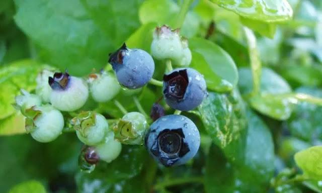 Mencegah dan Mengobati Penyakit Alzheimer Dengan Blueberry