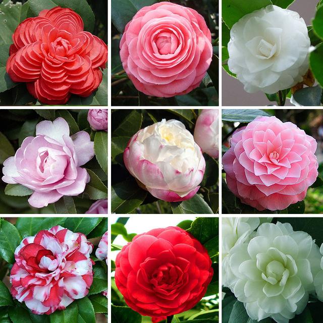 Camellia%2Bvarieties.jpg