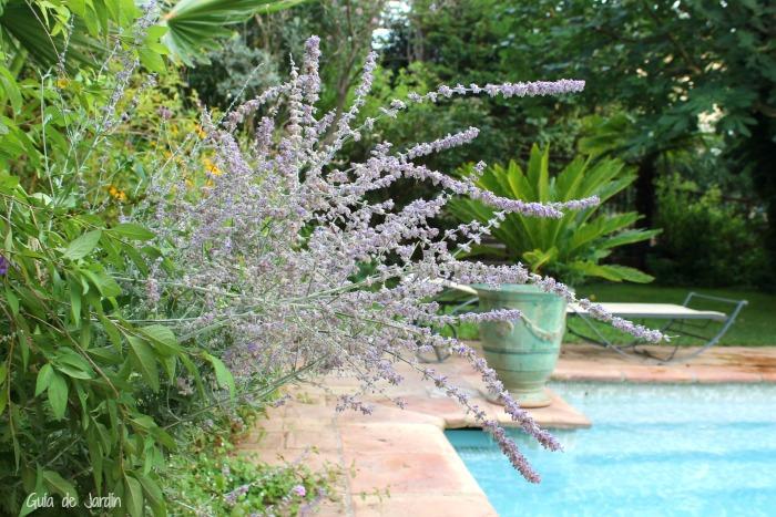 Salvia rusa