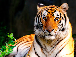 Sitting Tiger Beaıtiful Sharp Eyes HD Wallpaper